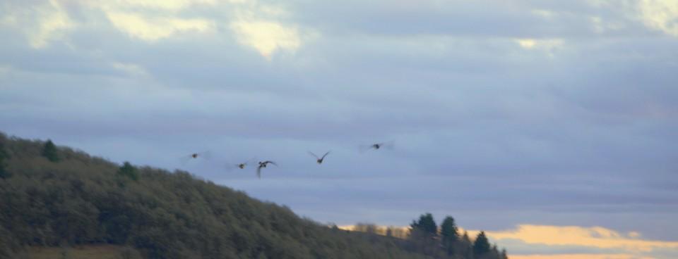 Fleeting Ducks II